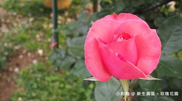 新生園區春季玫瑰花園-粉紅色3.jpg