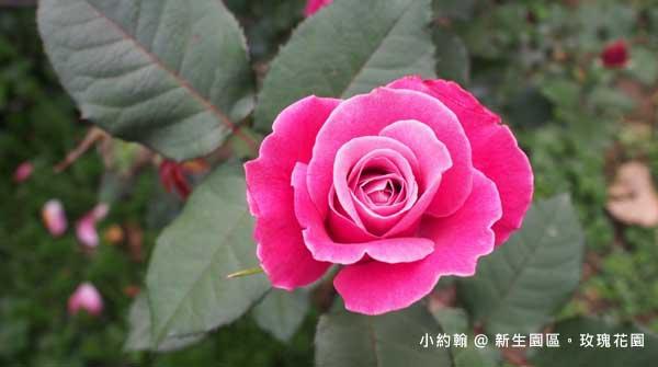 新生園區春季玫瑰花園-粉紅色.jpg
