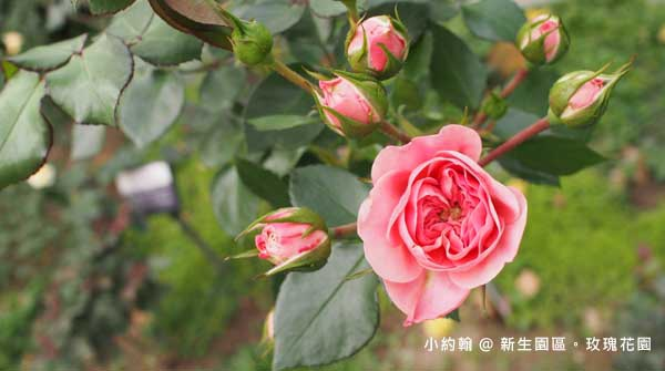 新生園區春季玫瑰花園-粉紅色2.jpg