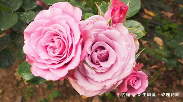 新生園區春季玫瑰花園-紫粉色-甜心.jpg
