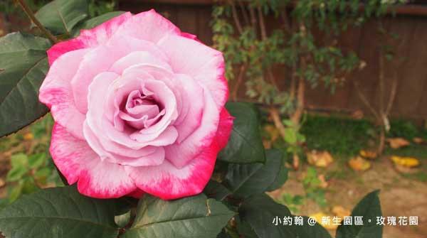 新生園區春季玫瑰花園-粉紅漸層.jpg