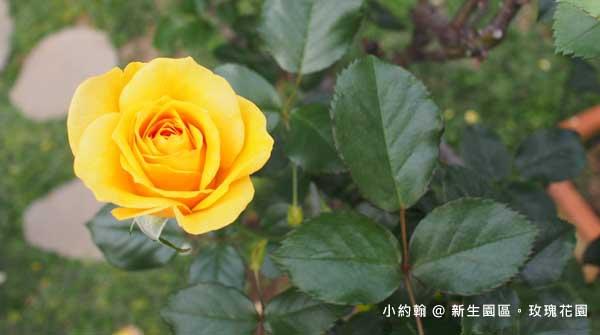 新生園區春季玫瑰花園-黃色.jpg