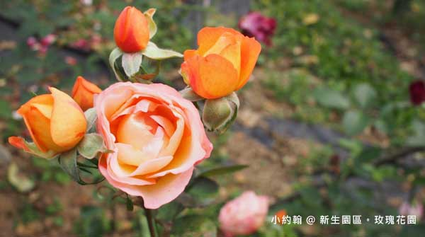 新生園區春季玫瑰花園-橙色.jpg
