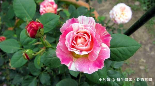 新生園區春季玫瑰花園-雙色玫瑰.jpg