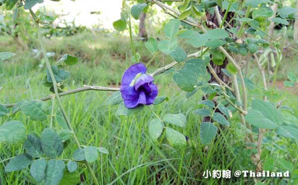 泰國蝶豆蘭花 Butterfly Pea .jpg