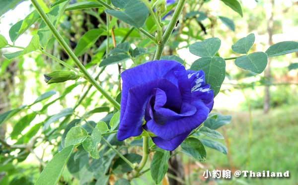 泰國蝶豆蘭花 Butterfly Pea 2.jpg