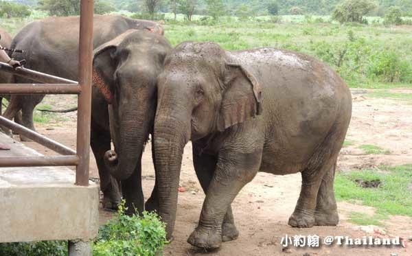 泰國大象世界Elephants World為大象工作@Kanchanaburi5.jpg