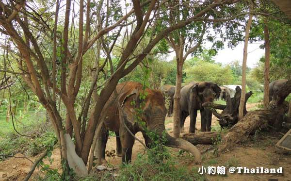 泰國大象世界Elephants World為大象工作@Kanchanaburi12.jpg