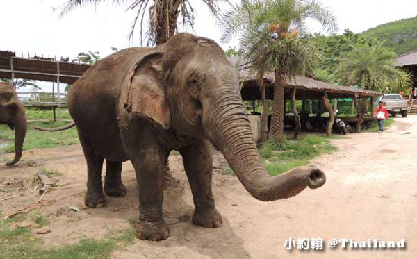 泰國大象世界Elephants World為大象工作@Kanchanaburi13.jpg