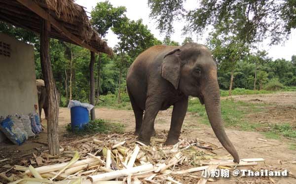 泰國大象世界Elephants World為大象工作@Kanchanaburi廚房2.jpg