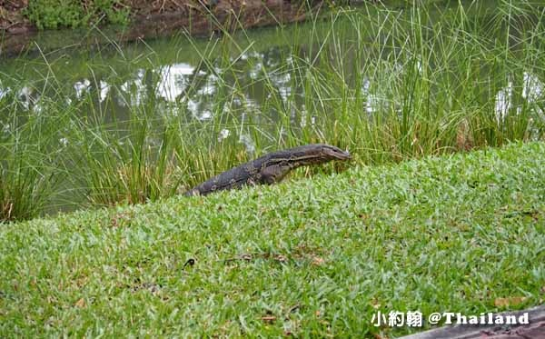 Lumphini Park曼谷倫披尼公園水巨蜥Water monitor.jpg