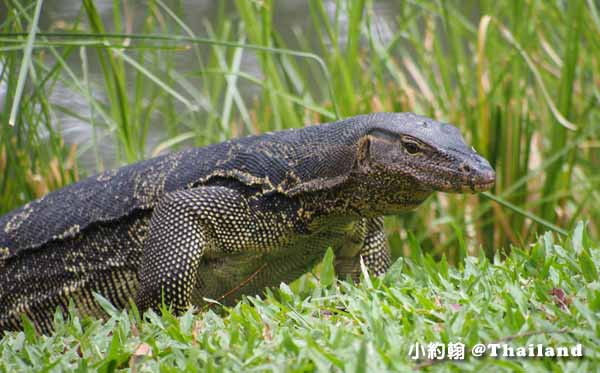 Lumphini Park曼谷倫披尼公園水巨蜥Water monitor1.jpg