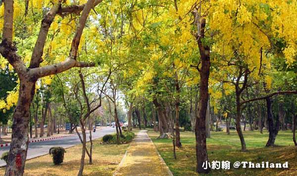 清邁大學Chiang Mai University(CMU)Cassia fistula阿勃勒Golden Shower flower黃金雨i.jpg