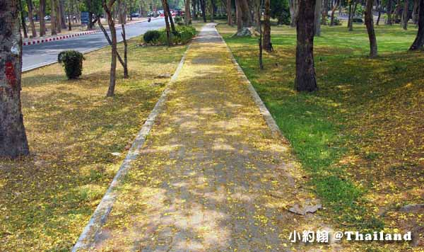 清邁大學Chiang Mai University(CMU)Cassia fistula阿勃勒Golden Shower flower黃金雨2.jpg