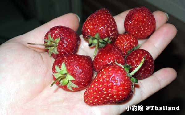 清邁草莓季Chiang mai strawberry4.jpg