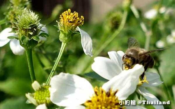 泰國旅遊小心蜜蜂叮咬
