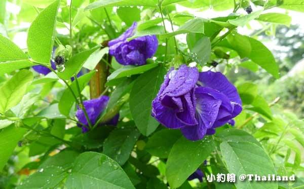 Butterfly Pea泰國蝶豆花.jpg