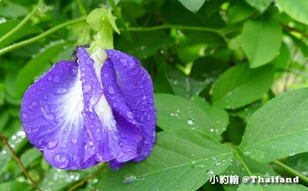 Butterfly Pea泰國蝶豆花2.jpg