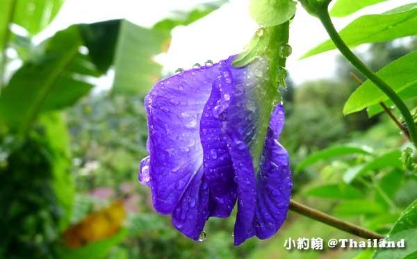 Butterfly Pea泰國蝶豆花3.jpg