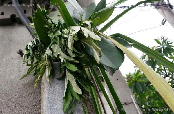 端午節掛榕枝艾草與香茅