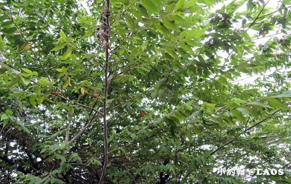 山櫻桃 wild Cherry.jpg