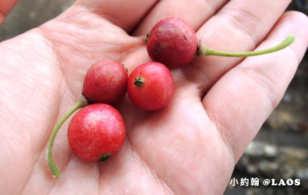 山櫻桃 wild Cherry2.jpg