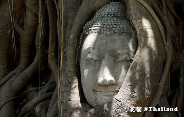 大城瑪哈泰寺Wat Mahathat 樹中佛頭.jpg