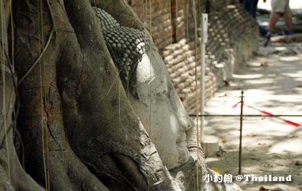 Wat Mahathat Ayutthaya樹中佛像頭