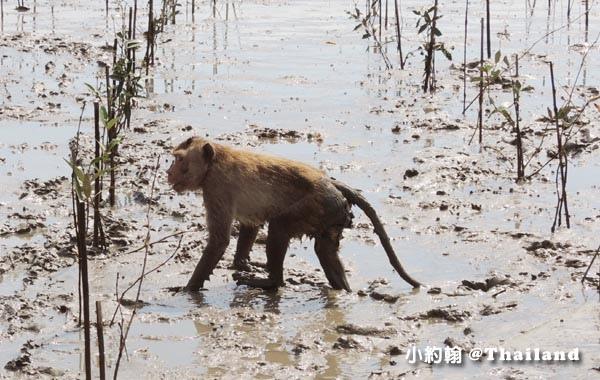 Monkey Klong khone Mangrove Samut Songkhram2.jpg