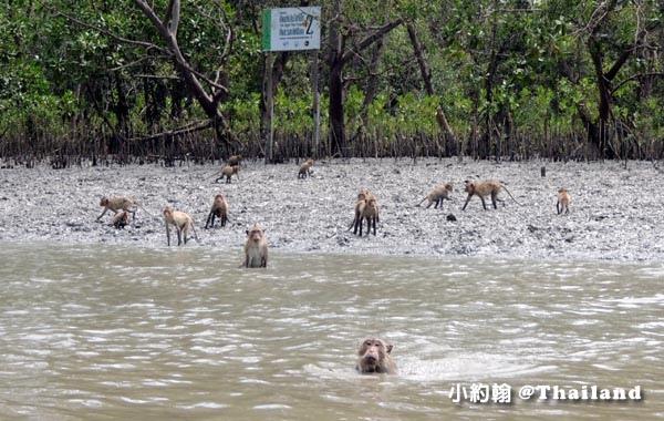 Monkey Klong khone Mangrove Samut Songkhram3.jpg