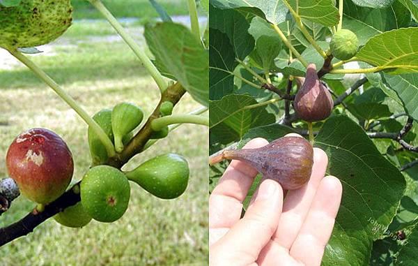 Turkey Fig tree.jpg