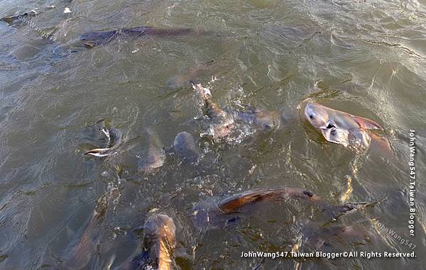 ayutthaya boat sunset tour feed fish.jpg