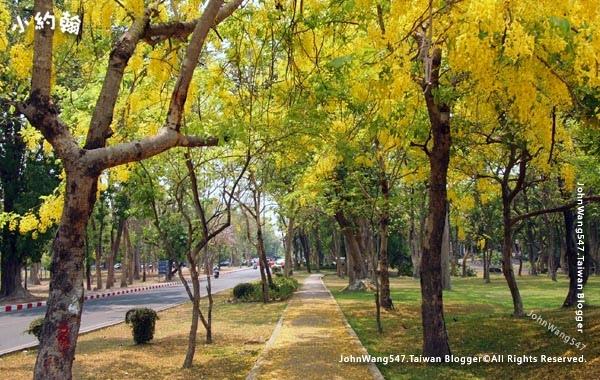 阿勃勒Cassia Fistula金鍊花黃金雨Chiang Mai University2.jpg