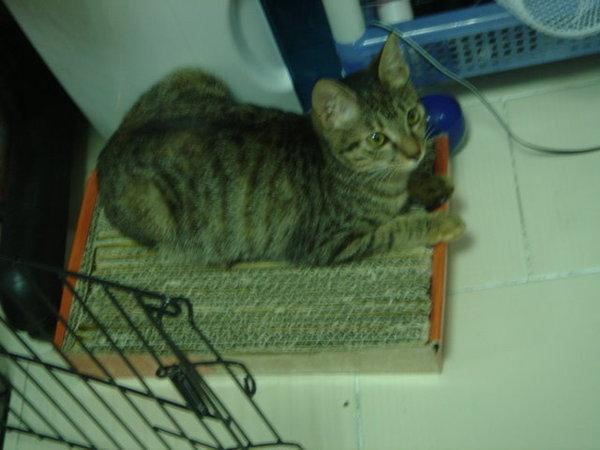 2007.04.16-coffee在貓抓板上孵蛋