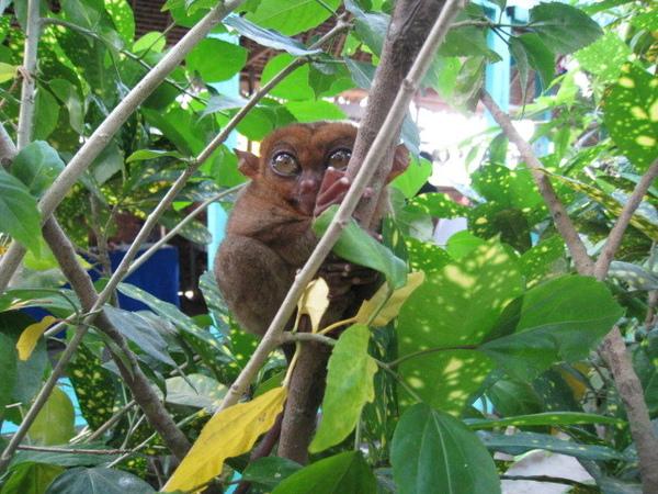 01.28-薄荷島-眼鏡猴32.jpg