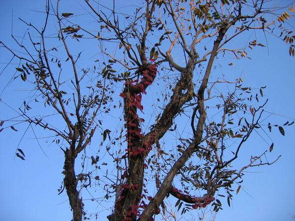 85.紅葉蔓藤爬上枯枝.jpg