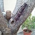 龍血樹(澳門氹仔島) 受傷皮層可能在受微生物感染後產生紅色物質