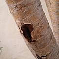 龍血樹(澳門氹仔島) 植物特色葉痕、葉環痕