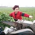 藥農採收白鶴靈芝