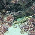 很大的龍蝦