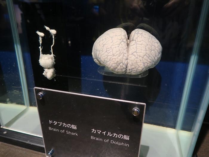 鯊魚的腦VS海豚的腦