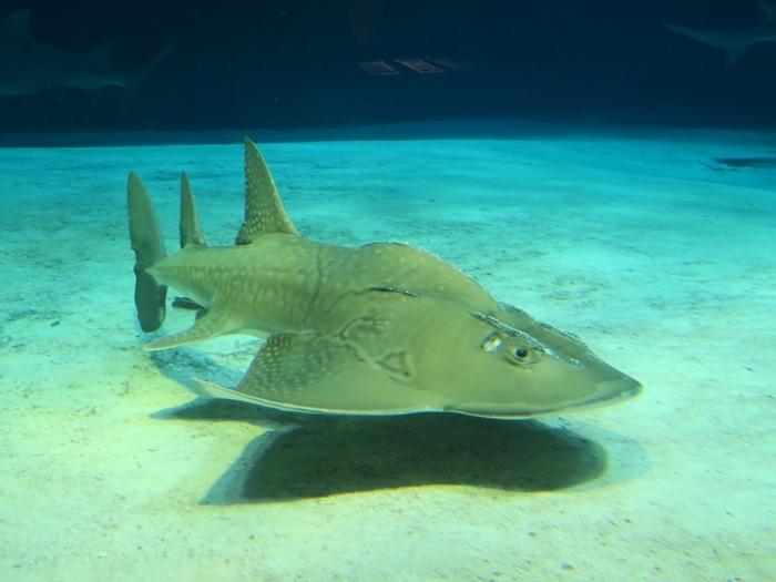 長的好特別的鯊魚