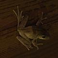 在牆壁上看見一隻樹蛙