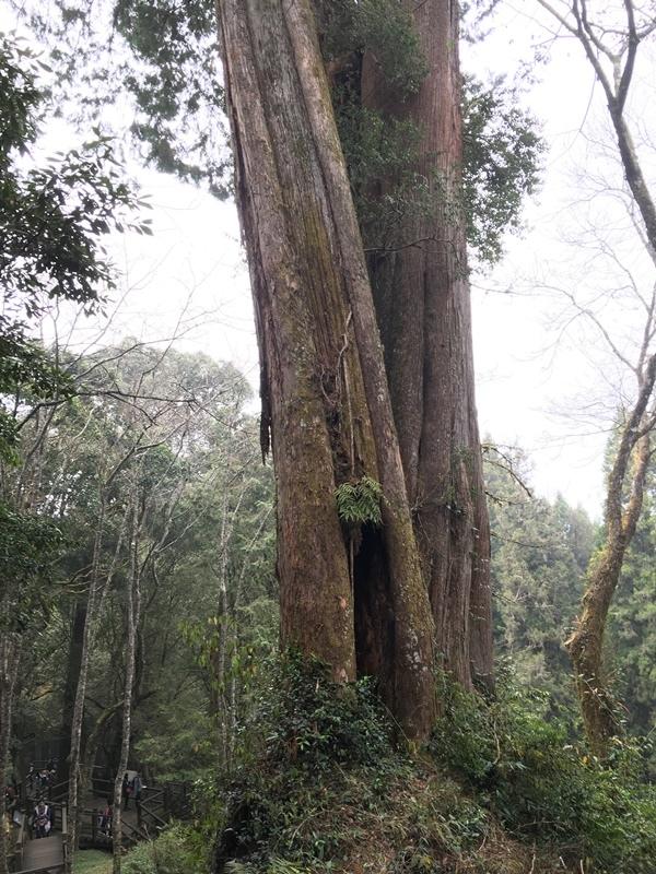 空心的檜木