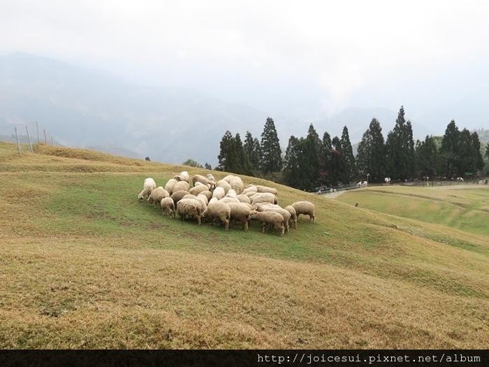 羊群先在上頭集合