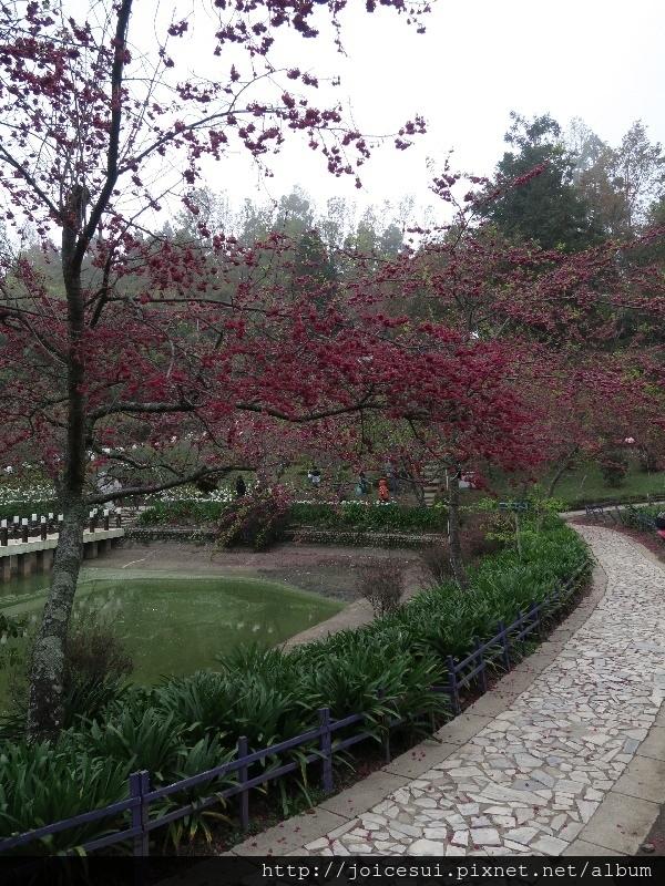 山櫻花正盛開