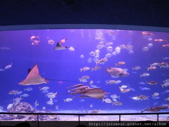 解說員會先介紹一些魚種