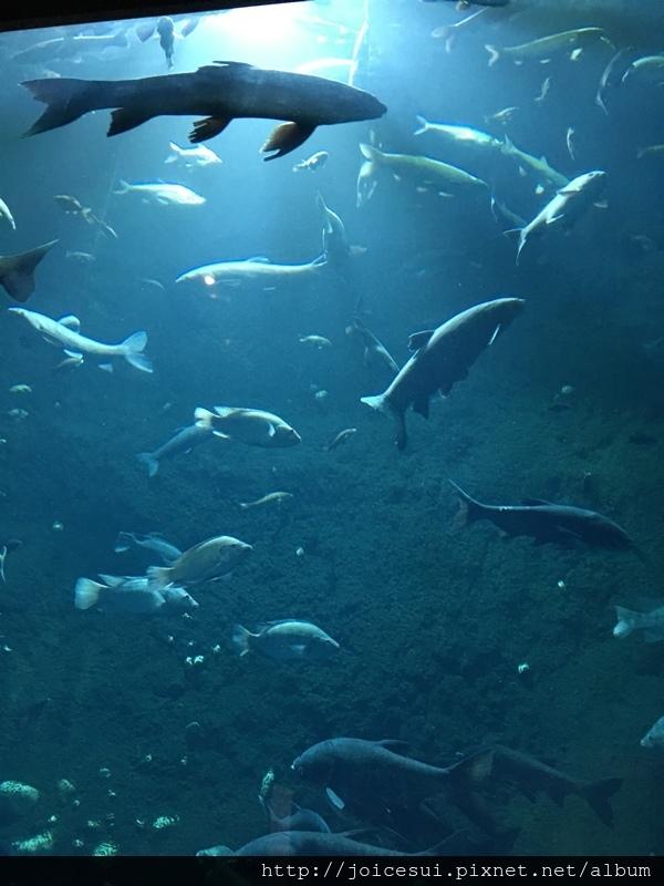 水庫魚的樣子