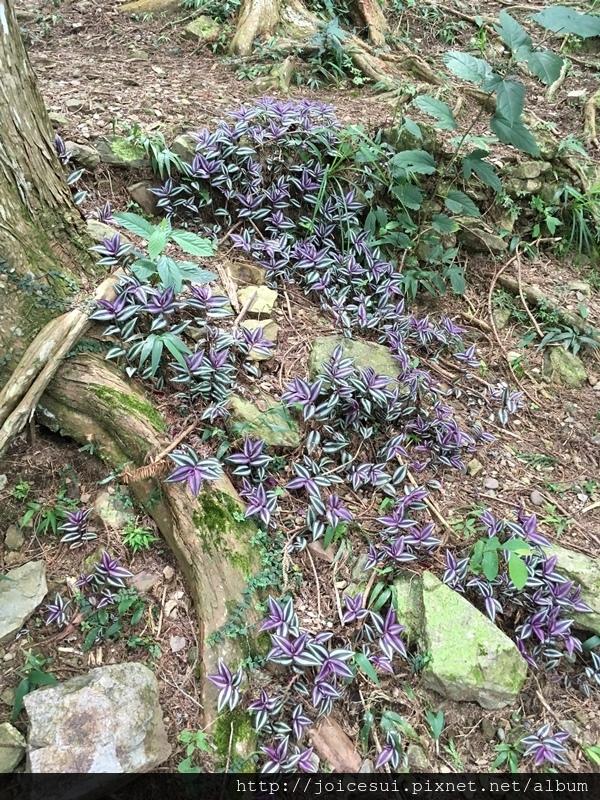 這紫色的植物很漂亮