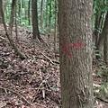 大樹上有前人留下的箭頭